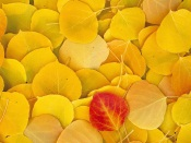 Autumns Carpet (Yellow Foliage)