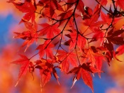 Autumn - Red Leaves