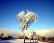 Birches at Winter