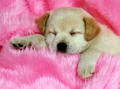 Doggy on Pink