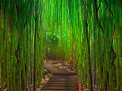 Very Green Bamboo