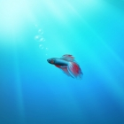 Beta Fish, Windows 7 Wallpaper
