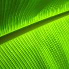 Blazing Green Leaf