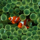 Two Clown Fishes