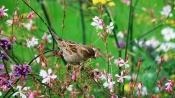 Sparrow in a Field of Flowers