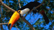 Toucan on the Tree