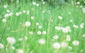 White Dandelions on the Green Field