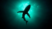 Silhouette of a Shark